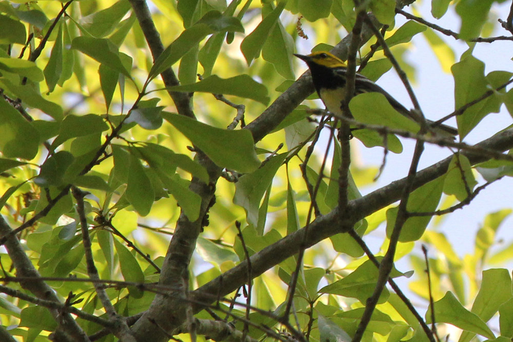 Black-throated Green Warbler / 5 May / West Neck Creek NA