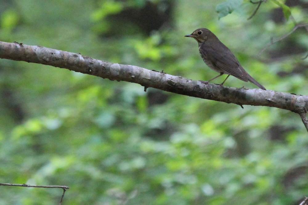 Swainson's Thrush / 5 May / Stumpy Lake NA