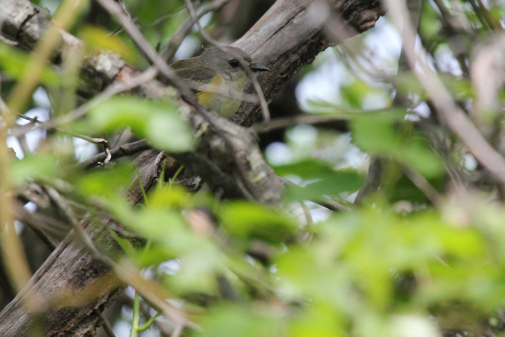 American Redstart / 5 May / Back Bay NWR