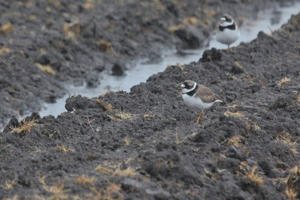 Semipalmated Plovers / 6 May / Muddy Creek Rd.