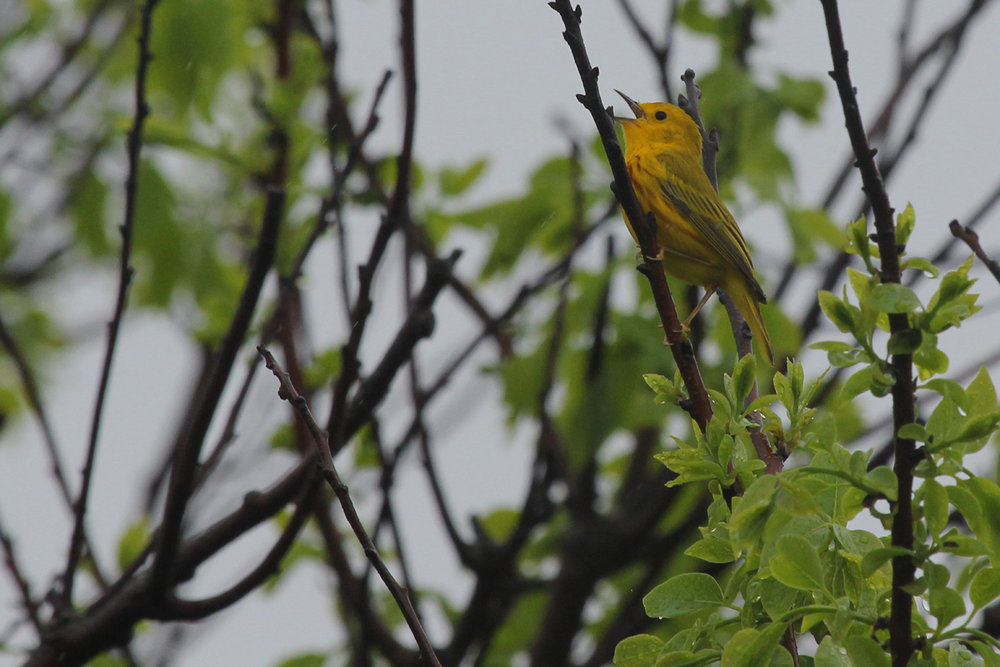 Yellow Warbler / 6 May / Back Bay NWR