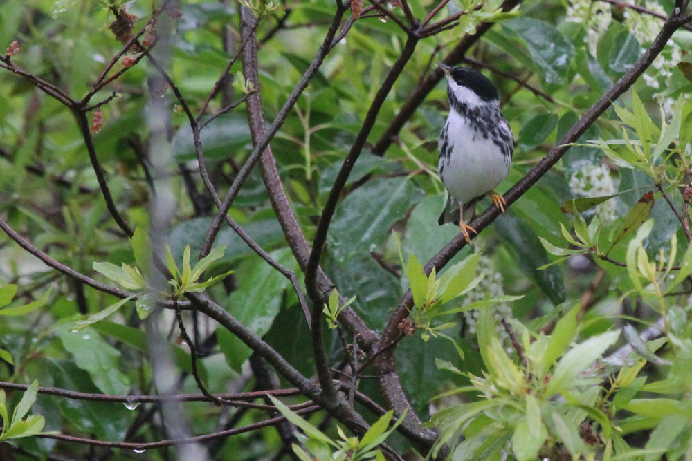 Blackpoll Warbler / 6 May / Back Bay NWR