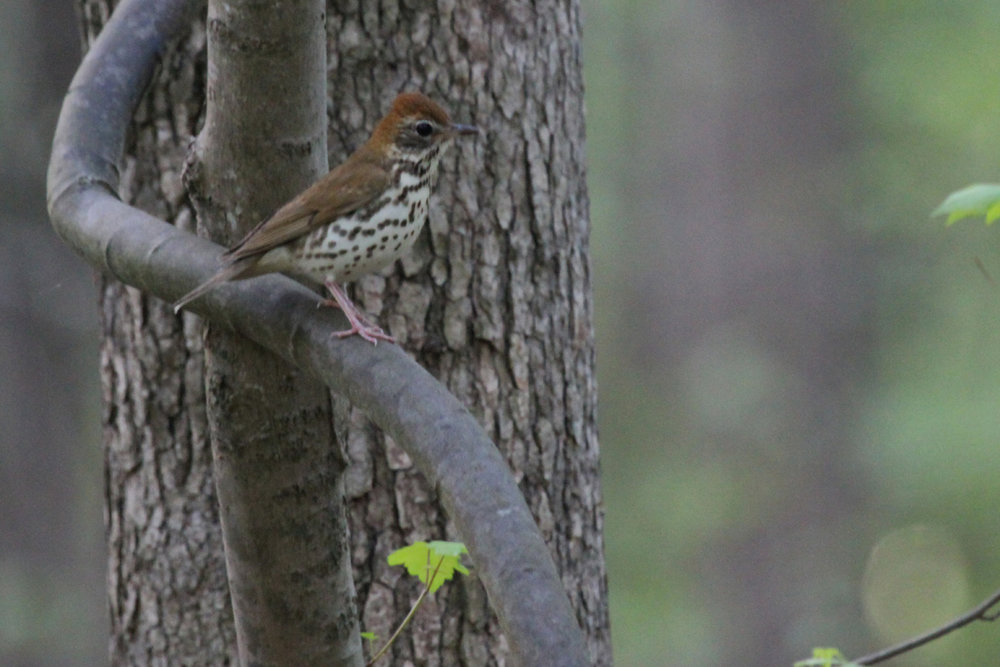 Wood Thrush / 3 May / Stumpy Lake NA