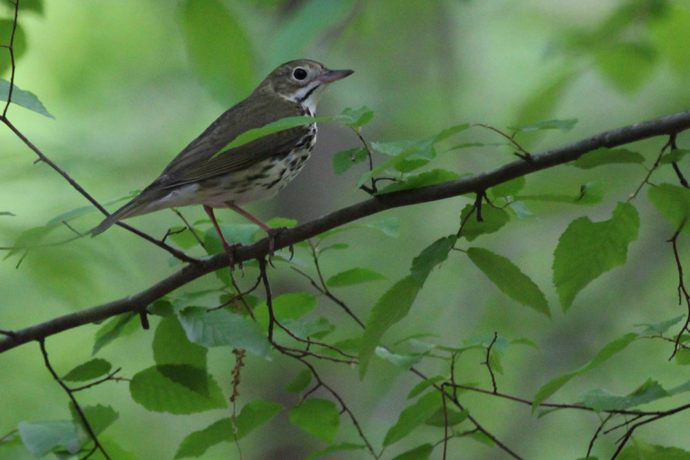 Ovenbird / 4 May / Stumpy Lake NA