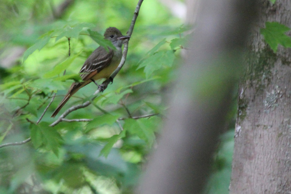 Great Crested Flycatcher / 4 May / Stumpy Lake NA
