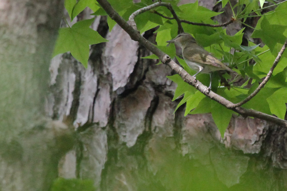 Red-eyed Vireo / 4 May / Stumpy Lake NA
