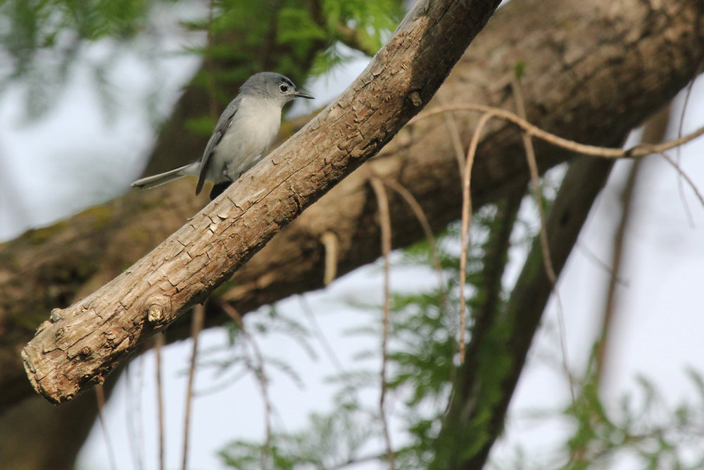 Blue-gray Gnatcatcher / 4 May / Stumpy Lake NA
