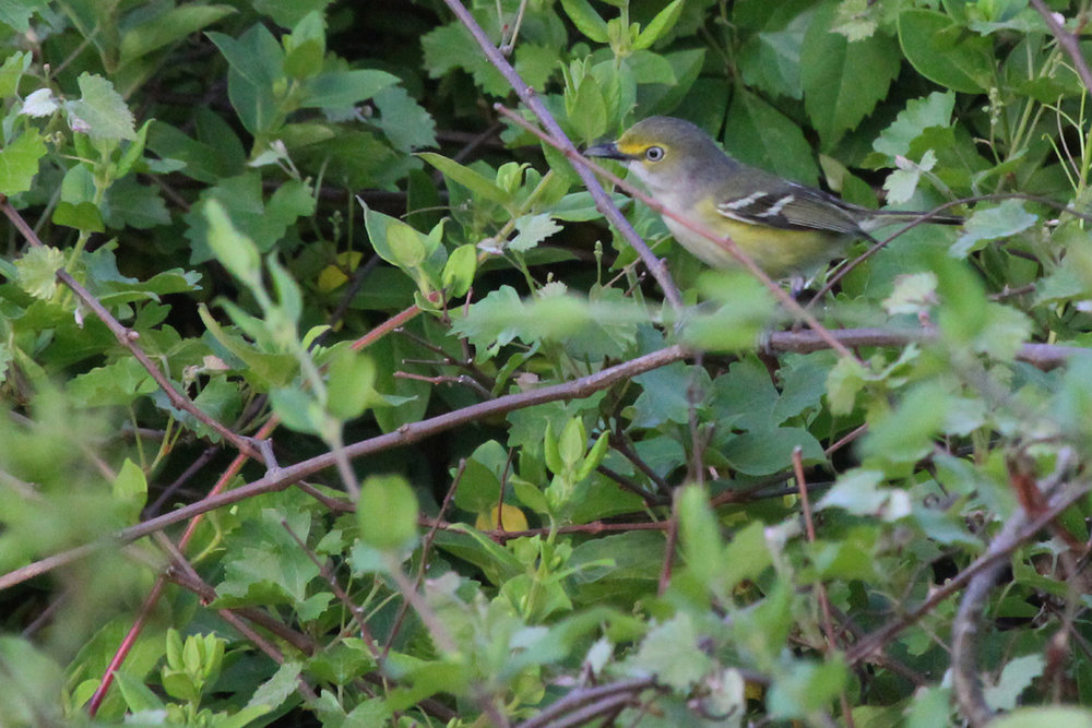 White-eyed Vireo / 5 May / Back Bay NWR