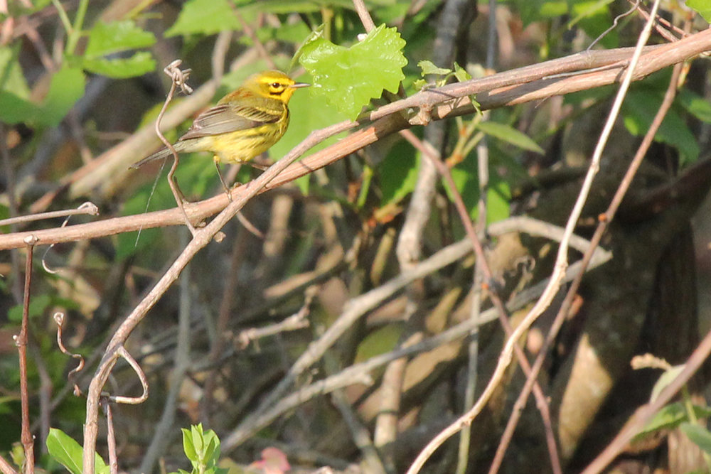 Prairie Warbler / 5 May / Back Bay NWR