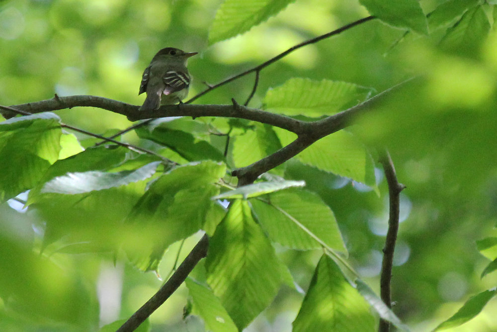 Acadian Flycatcher / 5 May / West Neck Creek NA
