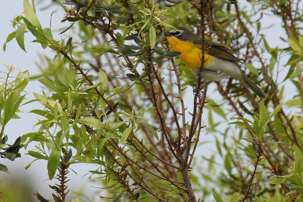 Yellow-breasted Chat / 5 May / Princess Anne WMA Whitehurst Tract