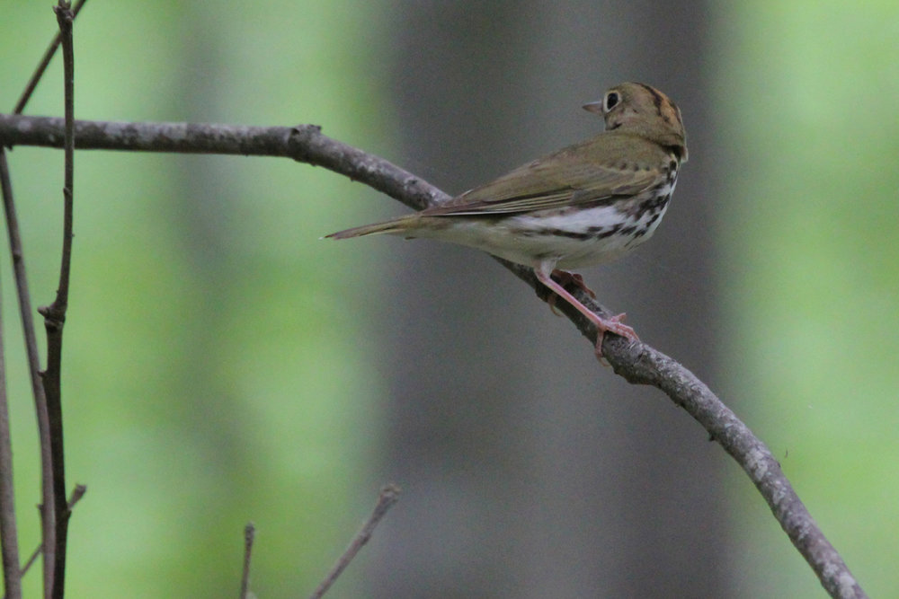 Ovenbird / 5 May / Stumpy Lake NA