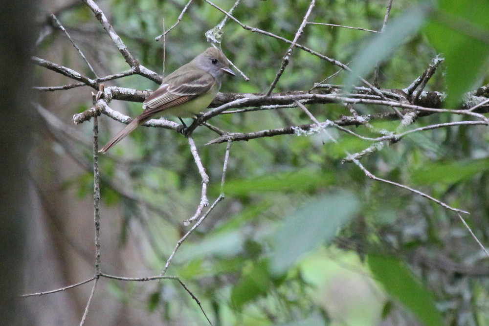 Great Crested Flycatcher / 5 May / Stumpy Lake NA