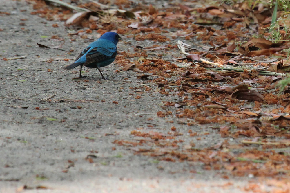 Indigo Bunting / 5 May / Back Bay NWR