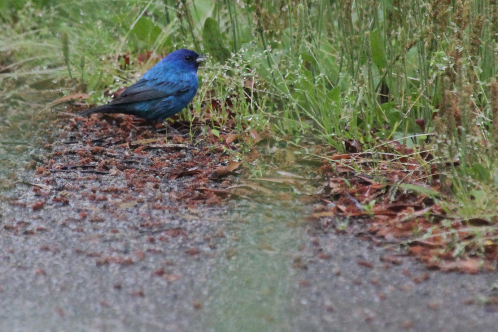 Indigo Bunting / 6 May / Back Bay NWR