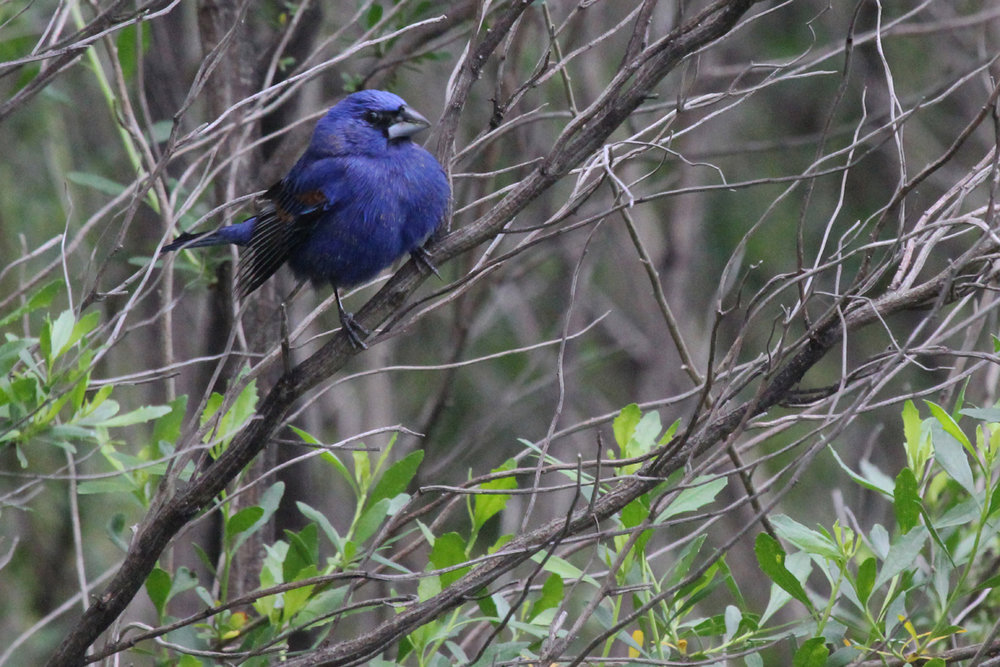 Blue Grosbeak / 7 May / Princess Anne WMA Whitehurst Tract