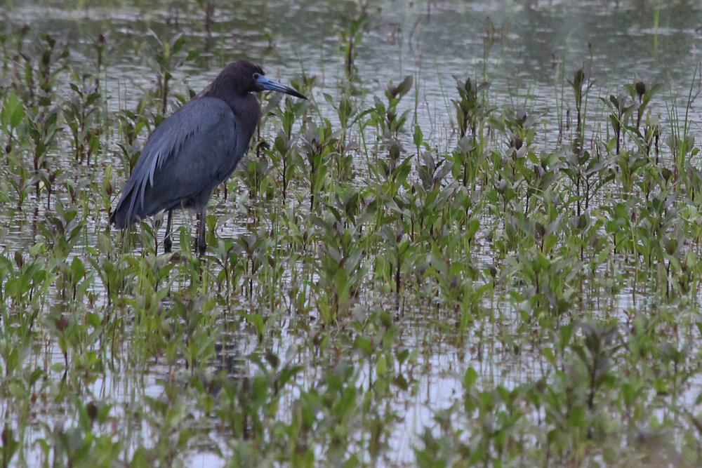 Little Blue Heron / 7 May / Princess Anne WMA Whitehurst Tract