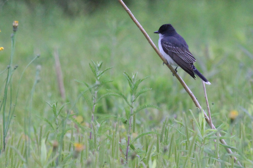 Eastern Kingbird / 7 May / Nanney's Creek Rd.