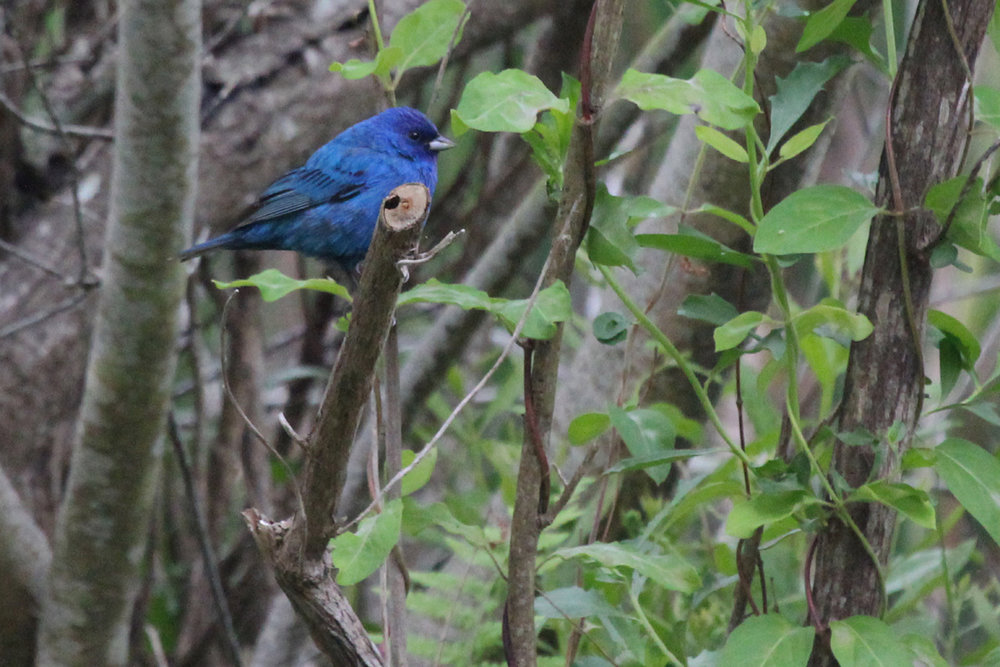 Indigo Bunting / 8 May / Back Bay NWR
