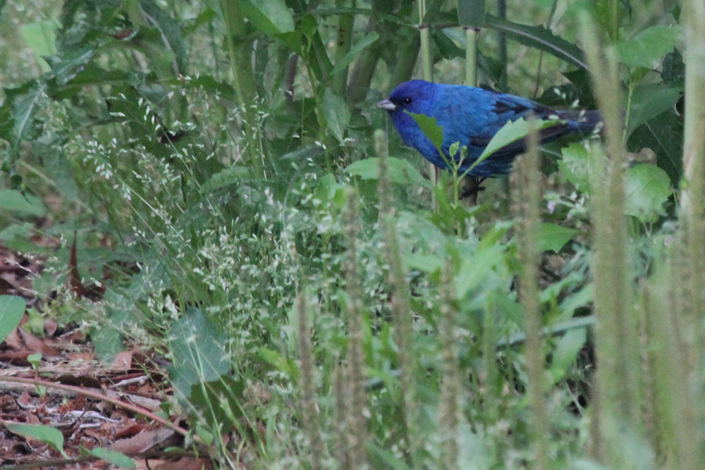 Indigo Bunting / 9 May / Back Bay NWR