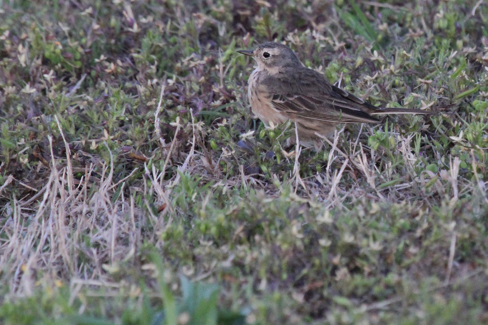 American Pipit / 2 May / Back Bay NWR