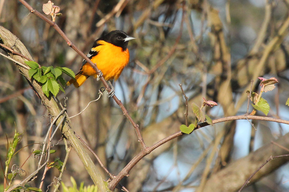 Baltimore Oriole / 2 May / Back Bay NWR