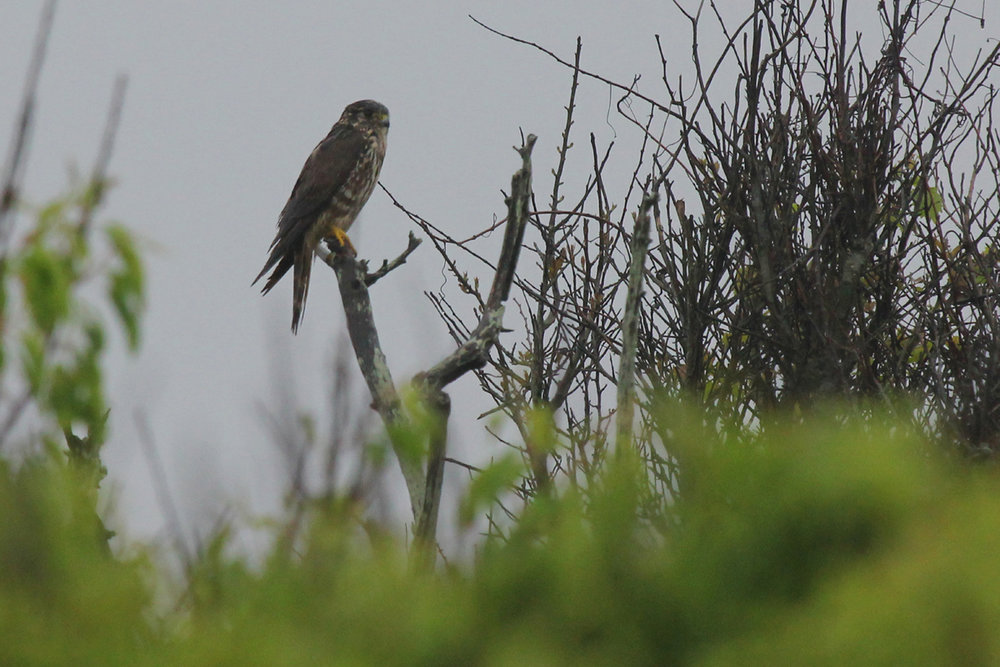Merlin / 6 May / Back Bay NWR