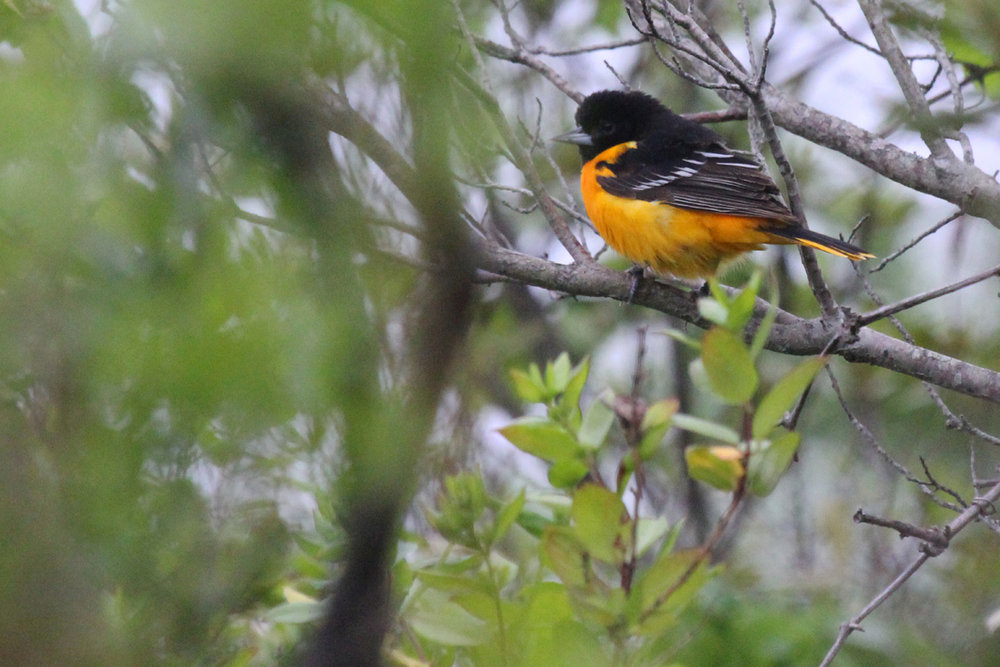 Baltimore Oriole / 8 May / Back Bay NWR