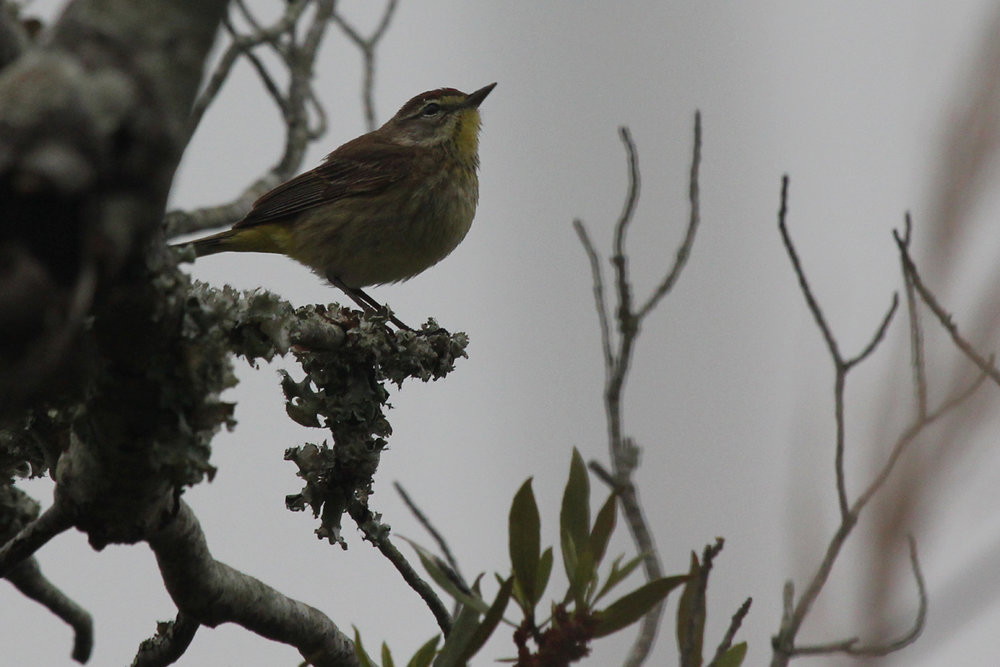 Palm Warbler (Western) / 8 May / Back Bay NWR