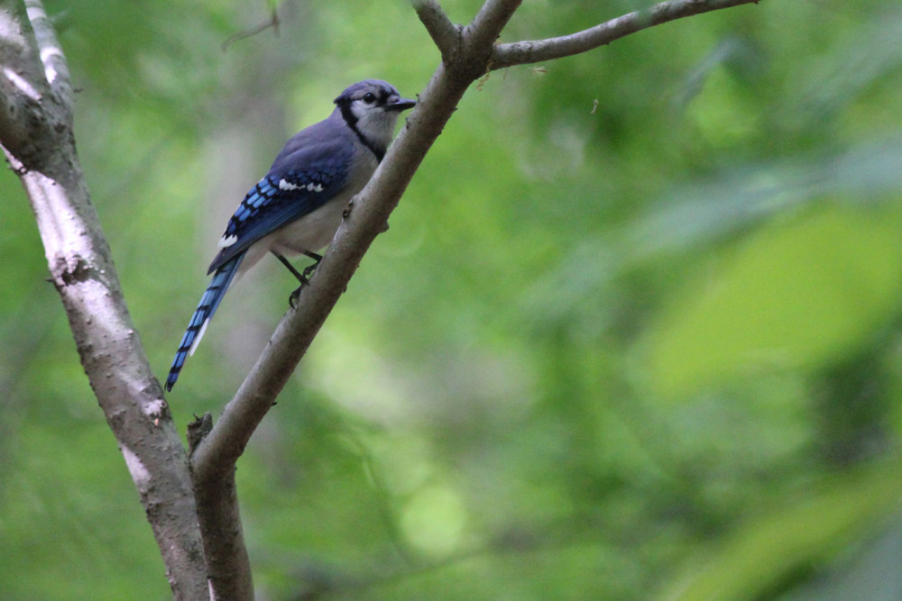 Blue Jay / 4 May / Stumpy Lake NA