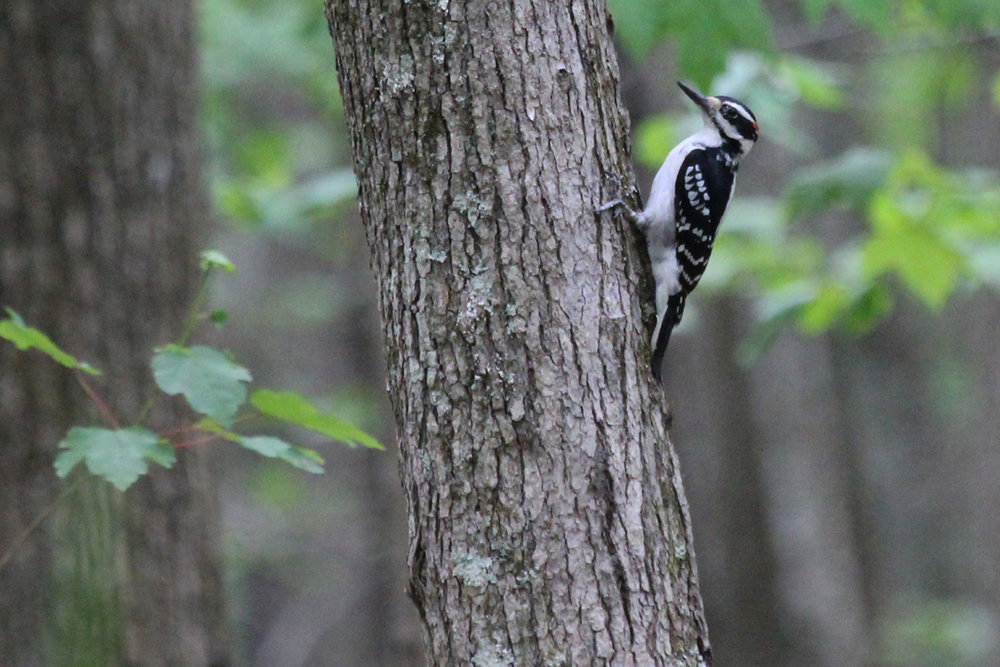 Hairy Woodpecker / 5 May / Stumpy Lake NA