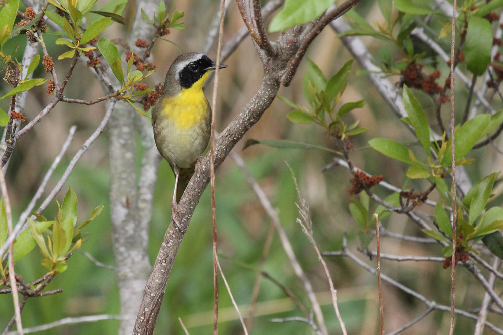 Common Yellowthroat / 5 May / Back Bay NWR