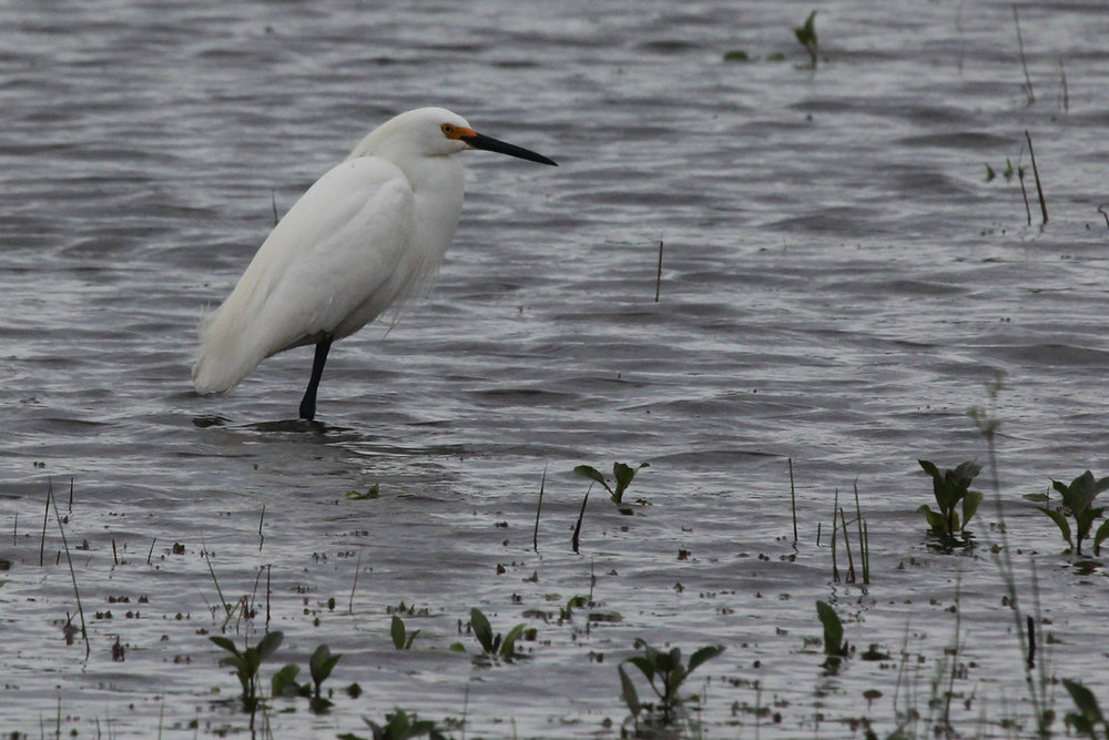 Snowy Egret / 7 May / Princess Anne WMA Whitehurst Tract