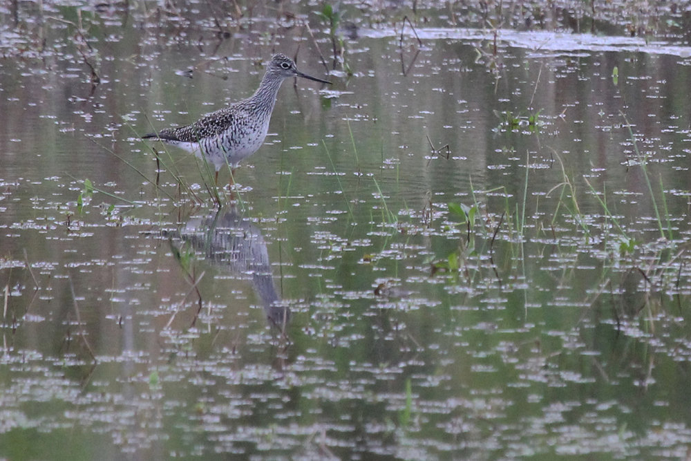 Greater Yellowlegs / 7 May / Princess Anne WMA Whitehurst Tract