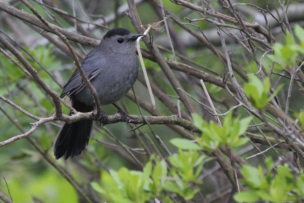 Gray Catbird / 8 May / Back Bay NWR