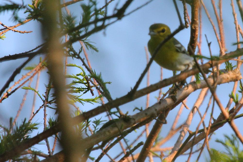 Yellow-throated Vireo / 11 May / Back Bay NWR
