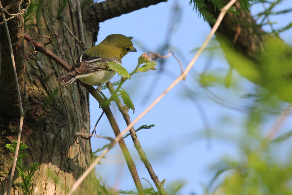 Yellow-throated Vireo / 11 May / Back Bay NWR