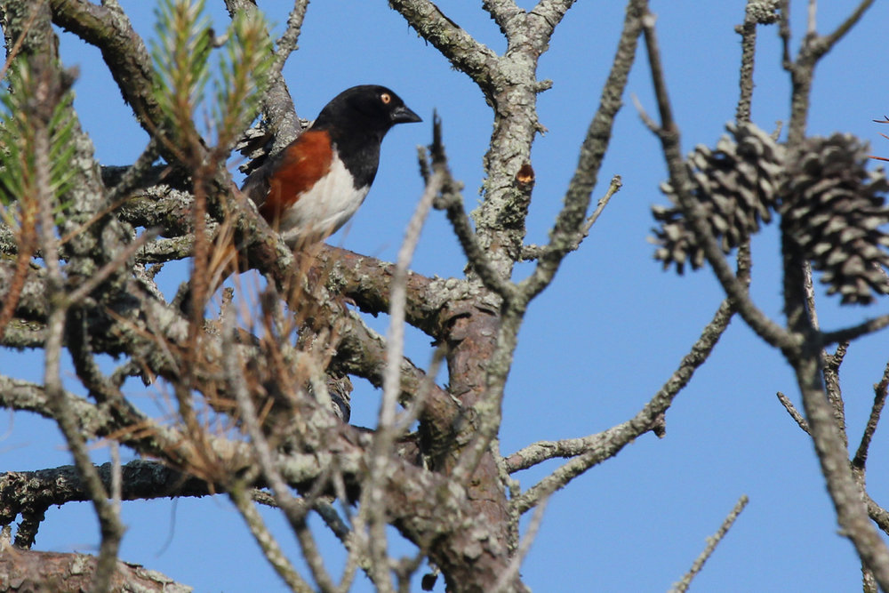 Eastern Towhee (White-eyed) / 12 May / Back Bay NWR