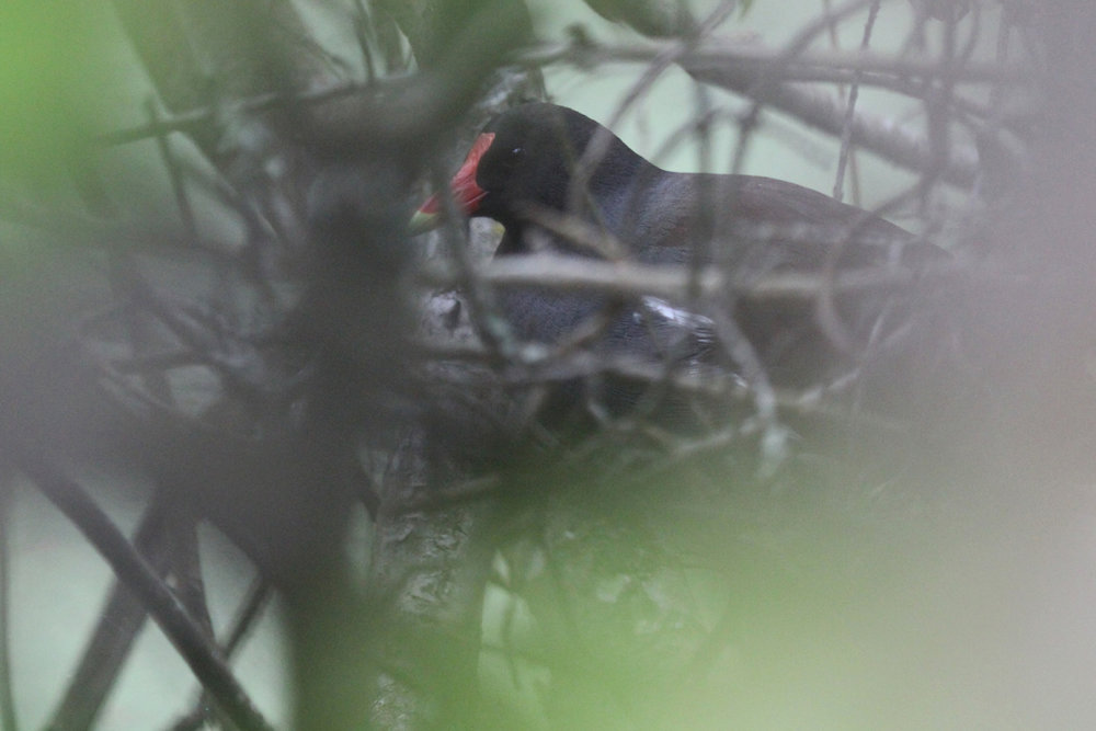 Common Gallinule / 15 May / Back Bay NWR