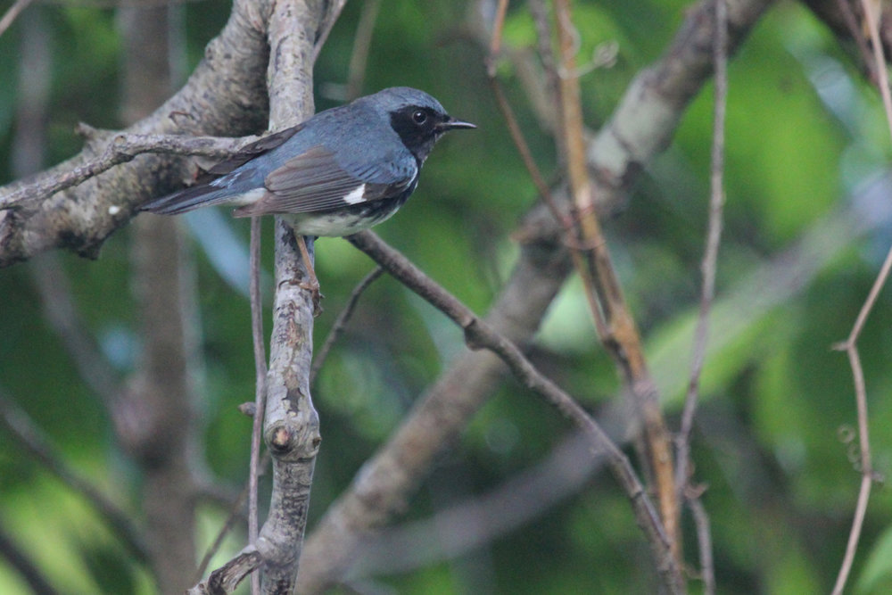 Black-throated Blue Warbler / 11 May / Back Bay NWR
