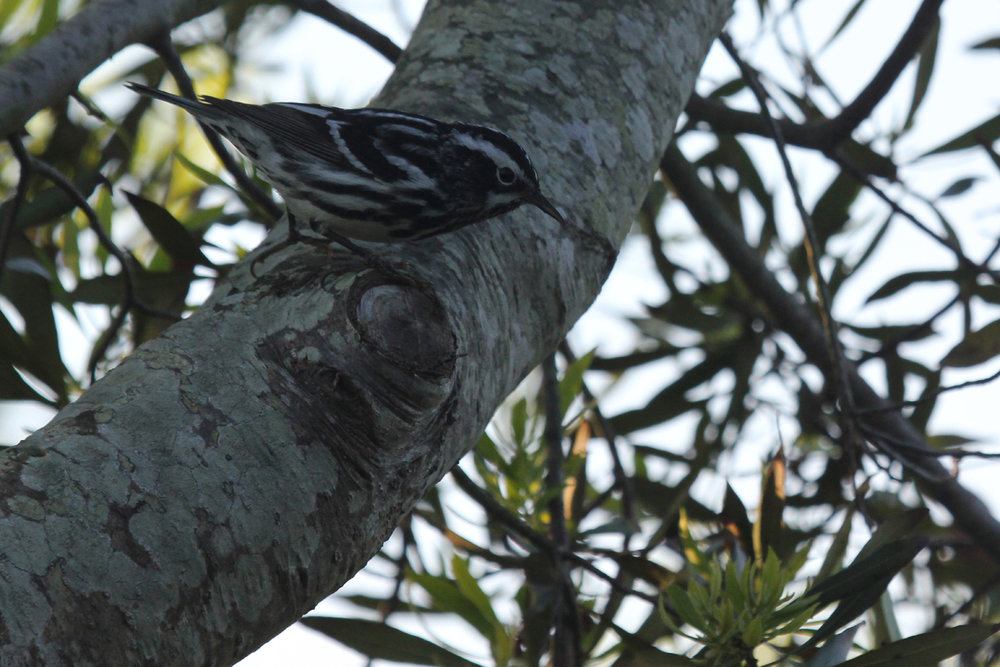 Black-and-white Warbler / 11 May / Back Bay NWR