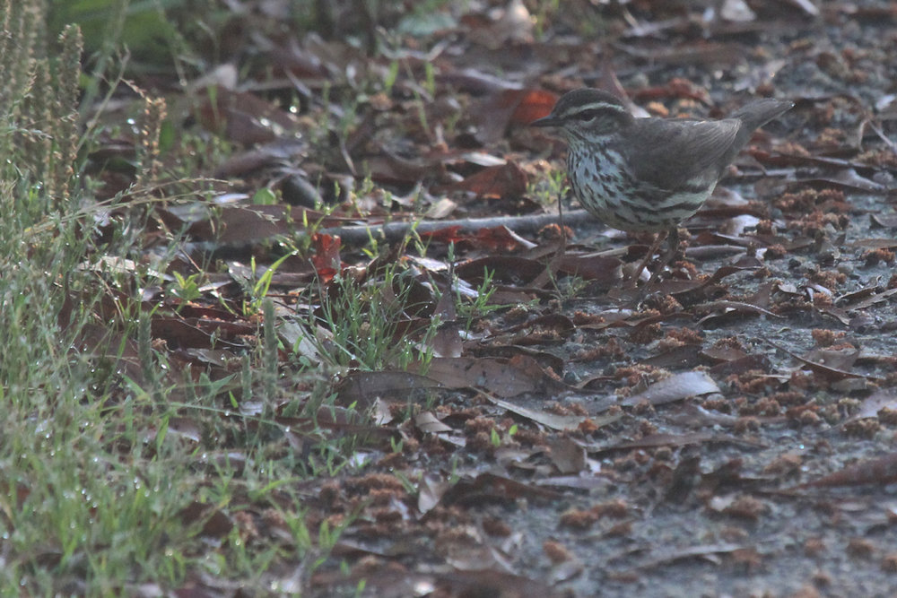 Northern Waterthrush / 11 May / Back Bay NWR
