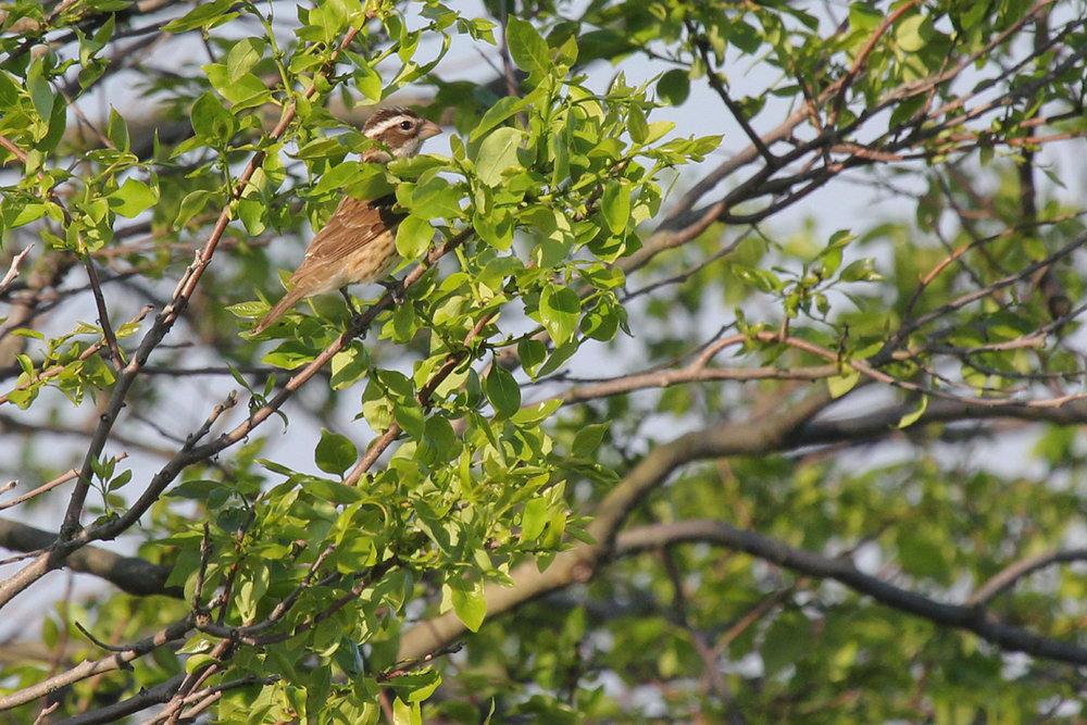 Rose-breasted Grosbeak / 11 May / Back Bay NWR