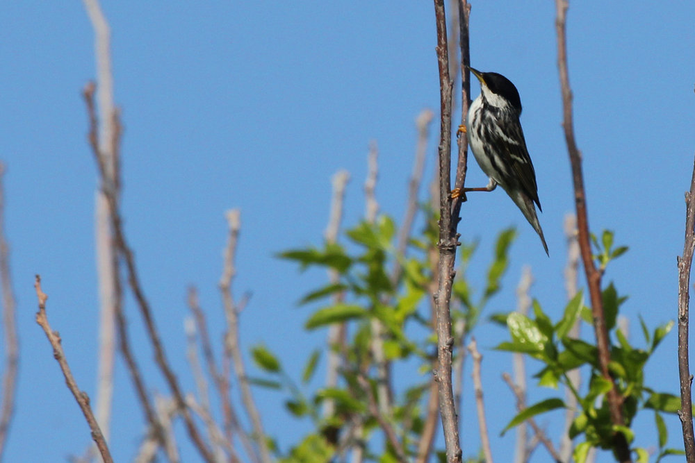 Blackpoll Warbler / 11 May / Back Bay NWR