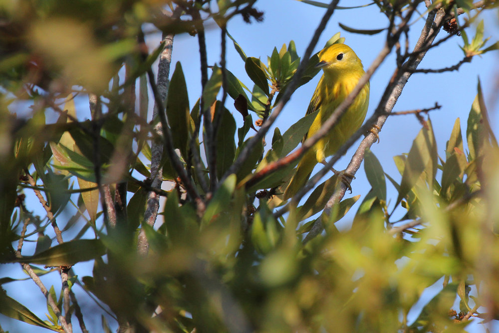 Yellow Warbler / 11 May / Back Bay NWR