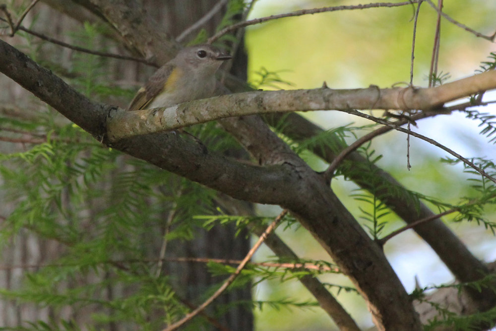 American Redstart / 11 May / Back Bay NWR