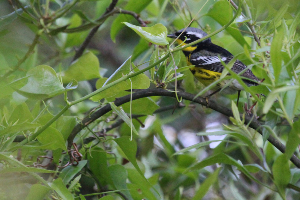 Magnolia Warbler / 11 May / Back Bay NWR
