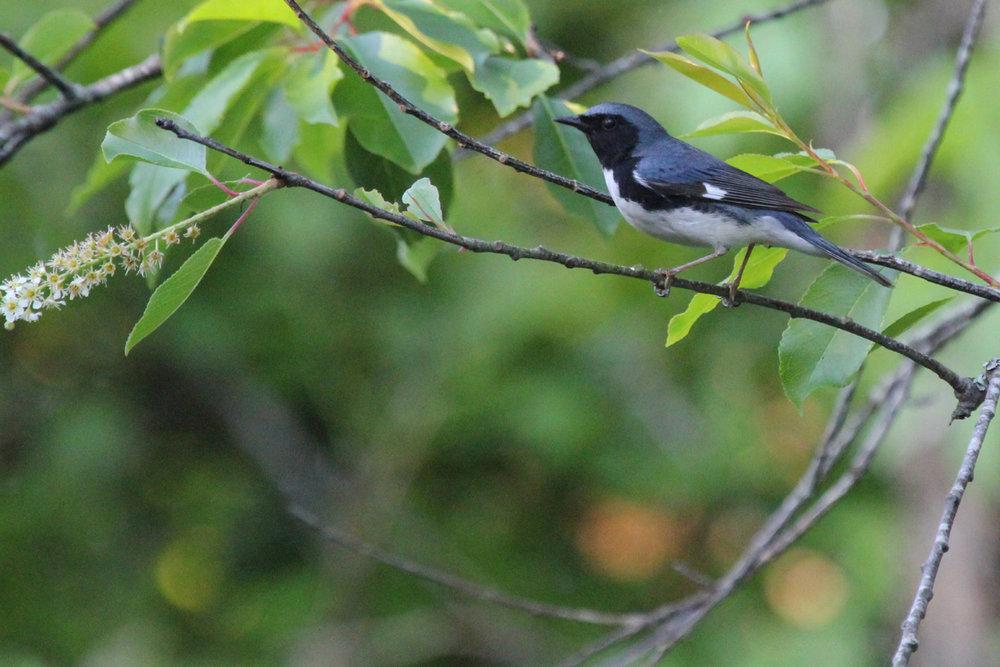 Black-throated Blue Warbler / 11 May / Back Bay NWR
