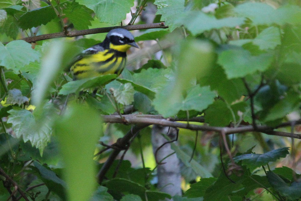 Magnolia Warbler / 11 May / Back Bay NWR