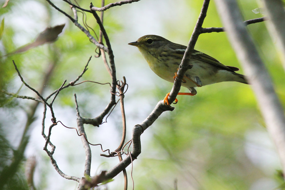 Blackpoll Warbler / 12 May / Back Bay NWR